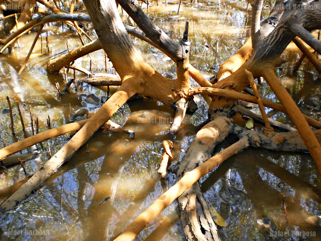 Foto 17: Pés de manguezal cobertas de barro Foto tirada em março de 2013