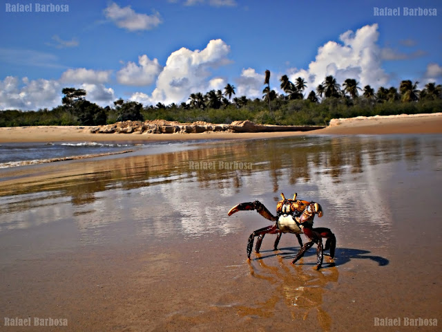 Foto 19: Caranguejo fêmea caminhando nas margens do rio Sergipe. Foto tirada em março de 2013